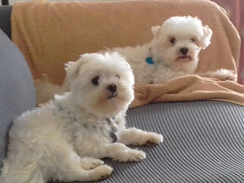 Two small dogs on couch