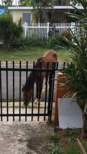 Horse grazing on the road, outside of the gate